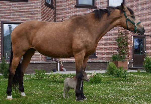 Hříbátko Gulliver na farmě Idalgo na chov amerických miniaturních koní ve vesnici Skotnoje, Leningradská oblast - Sputnik Česká republika