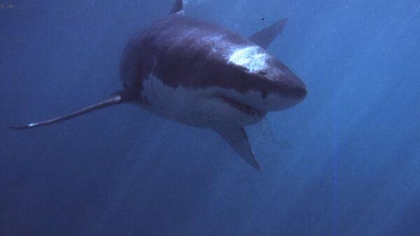 Bílý žralok - Sputnik Česká republika