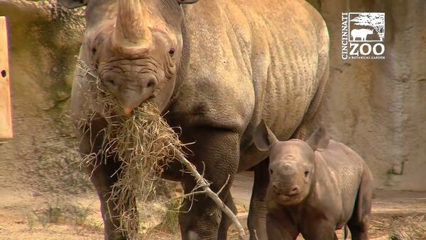 Mládě vymírajícího dvourohého nosorožce Candy - Sputnik Česká republika