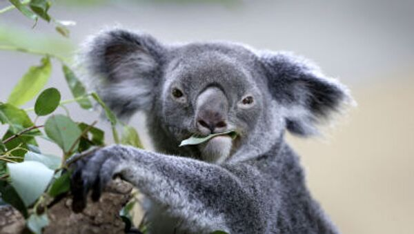 Koala - Sputnik Česká republika