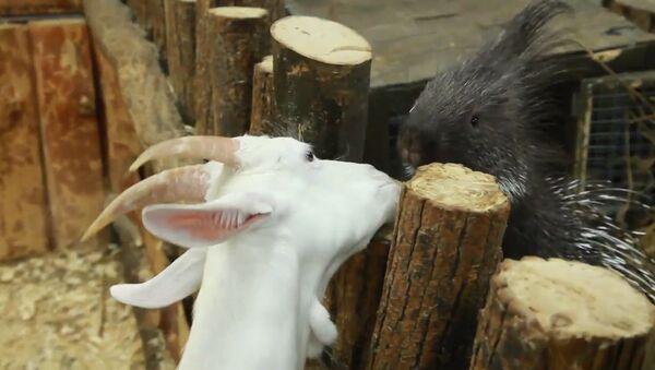 Zvířecí přátelství: společenské vztahy dikobraza - Sputnik Česká republika