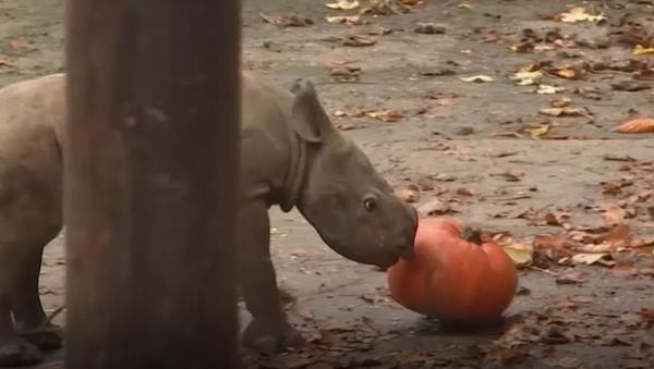 Maličkatý nosorožec si užívá život ve Dvoře Králové - Sputnik Česká republika