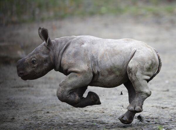 Novorozený nosorožec v zoo ve Dvoře Králové nad Labem - Sputnik Česká republika