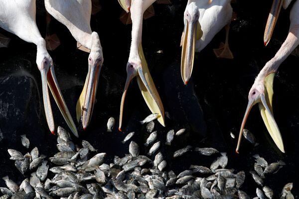 Pelikáni během krmení v rámci speciálního izraelského programu, jehož cílem je, aby pelikáni nejedli ryby - Sputnik Česká republika