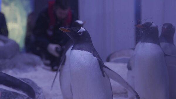 Závody pod vodou: nejrychlejší tučňáci na světě - Sputnik Česká republika