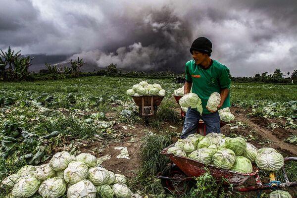 Indonéský farmář sklízí zelí během erupce sopky Sinabung - Sputnik Česká republika