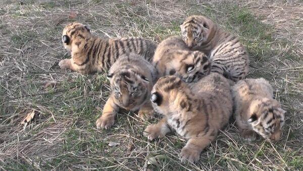 V krymském safari se narodila čtyři tygří mláďata - Sputnik Česká republika