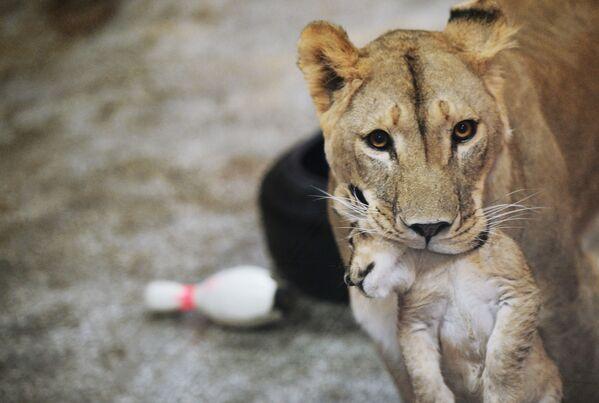 Africká lvice Emma s jedním ze tří lvíčat, jež se narodila 30. září v jekatěrinburské zoo - Sputnik Česká republika