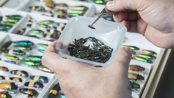 Smaragdové zlatky (Agrilus planipennis) v laboratoři - Sputnik Česká republika