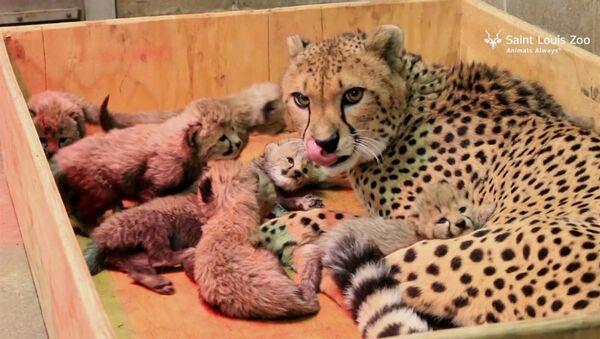 Matka hrdinka: samice geparda porodila osm dětí a stanovila rekord - Sputnik Česká republika