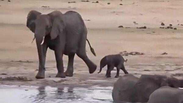 Napadení hrochů ze strany rozezleného slona se dostalo na video. Video - Sputnik Česká republika