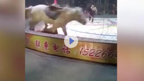 Útok lva a tygra na cirkusového koně se dostal na video - Sputnik Česká republika