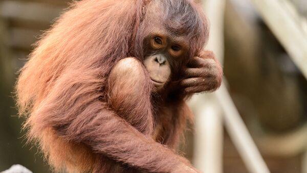 Mladý orangutan bornejský - Sputnik Česká republika