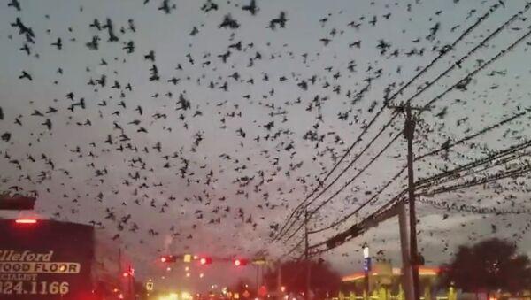 Hitchcock o tom ani nesnil: v Texasu natočili ptačí invazi - Sputnik Česká republika
