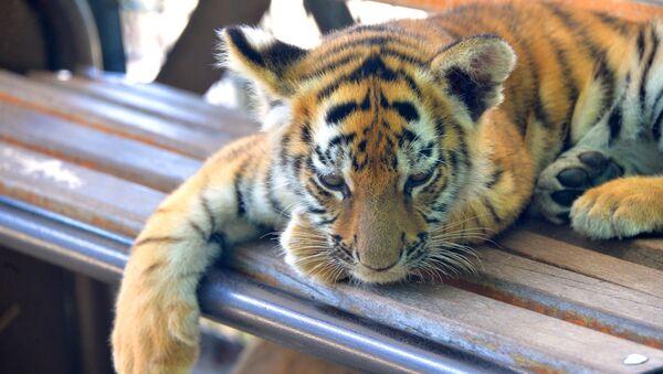 Mládě tygra - Sputnik Česká republika