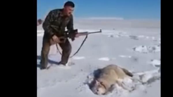Vlk předstíral, že je mrtvý, a napadl lovce, když ho ten kopl - Sputnik Česká republika