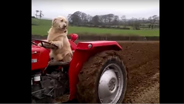 Zlatý retrívr se prohání na traktoru a kosí trávu (VIDEO) - Sputnik Česká republika