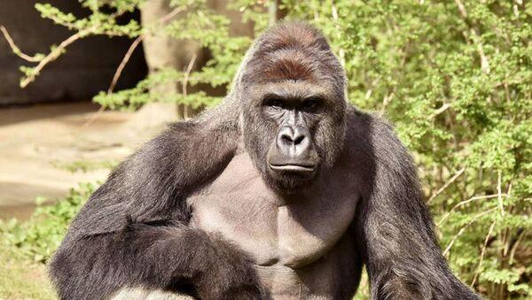 Gorila, ilustrační foto - Sputnik Česká republika