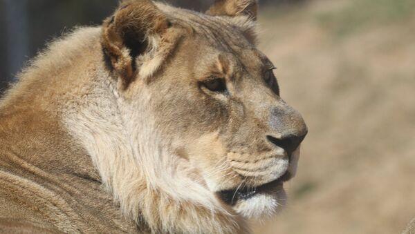 Львица с гривой в Oklahoma City Zoo - Sputnik Česká republika