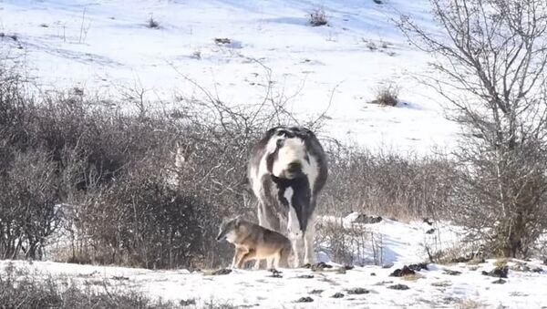 Odvážný kůň vyděsil vlky - Sputnik Česká republika