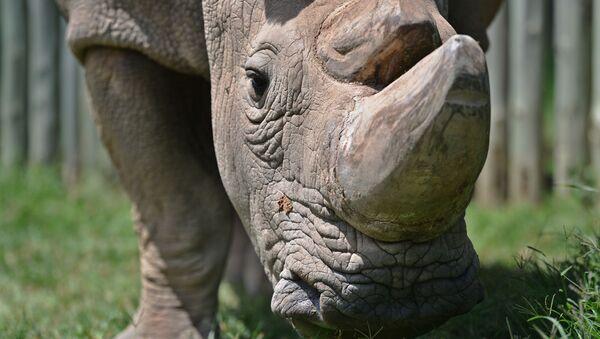 Poslední samec nosorožce severního bílého Sudán - Sputnik Česká republika
