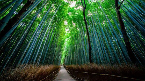 Bambusový les Sagano v Japonsku - Sputnik Česká republika