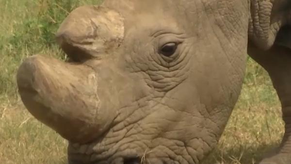 Poslední na světě samec severního bílého nosorožce - Sputnik Česká republika