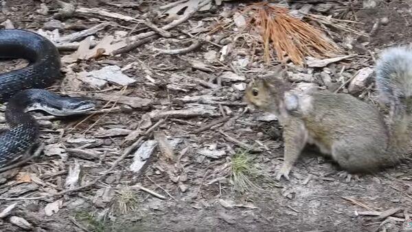 Potyčka veverky a hada se dostala na video - Sputnik Česká republika