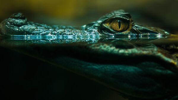 Krokodýl ve vodě - Sputnik Česká republika