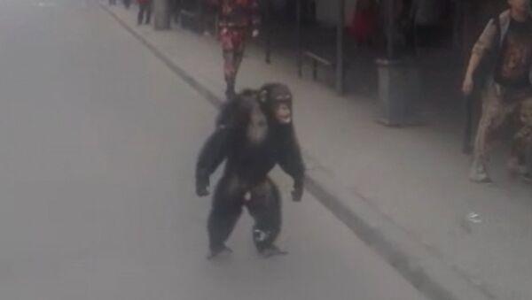 Z cirkusu v Krasnodaru utekla opice - Sputnik Česká republika
