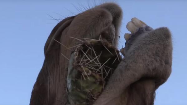 Velbloud jí kaktus s obrovskými jehlami a ani se mračí! VIDEO, bolí už jen se na něj dívat - Sputnik Česká republika