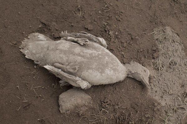 Mršina kachny pokrytá popelem po erupci sopky kachní Fuego v Guatemale - Sputnik Česká republika