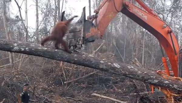 Tak to je mela! Boj orangutana s buldozerem byl natočen na VIDEO - Sputnik Česká republika