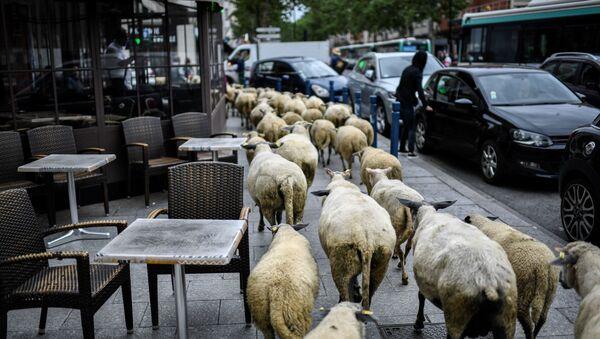 Ovce okupují pařížská předměstí - Sputnik Česká republika