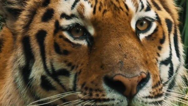 Záchrana amurských tygrů - Sputnik Česká republika