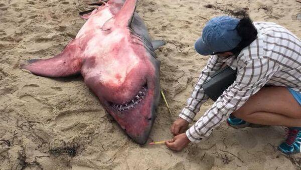 Частично окрашенная в красный цвет большая белая акула была найдена мертвой на пляже в Массачусетсе - Sputnik Česká republika