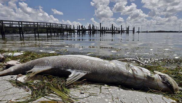Mrtvá ryba na pláži ve Floridě - Sputnik Česká republika