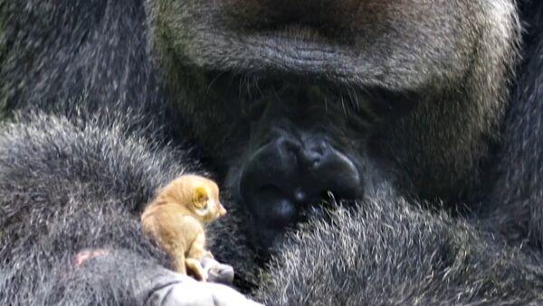 Podívejte se, co tento malý lemur provedl s obrovskou gorilou (VIDEO) - Sputnik Česká republika