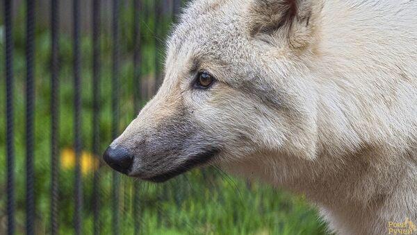 Polární vlk v krasnkojarské zoo Roev potok - Sputnik Česká republika