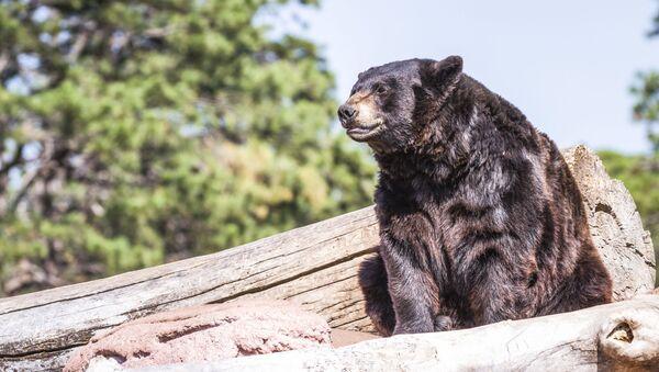 Grizzly. Ilustrační foto - Sputnik Česká republika