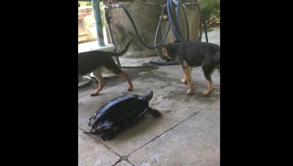 Agresivní želva drží ve strachu dva psy. Až příliš směšné video - Sputnik Česká republika