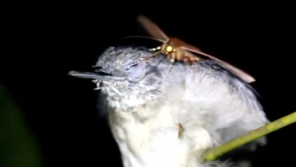 Motýl, který pije slzy z očí spícím ptákům (VIDEO) - Sputnik Česká republika