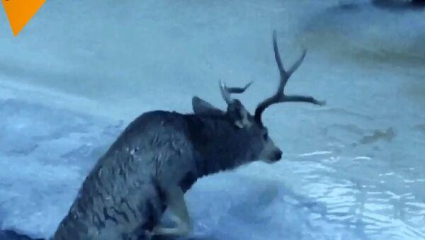 Jelen šíleně bojoval o život v ledové řece, dokud se nestalo tohle - Sputnik Česká republika