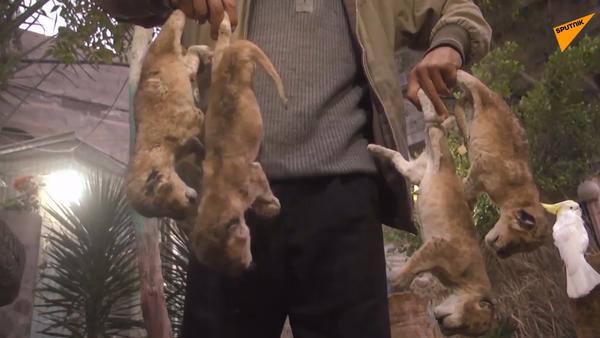 Drastické záběry: Čtyři lvíčata zemřela kvůli mrazivému počasí v palestinské ZOO - Sputnik Česká republika