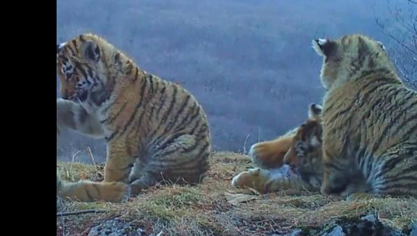 Kamera zachytila, co dělají v národním parku malí tygři amurští - Sputnik Česká republika