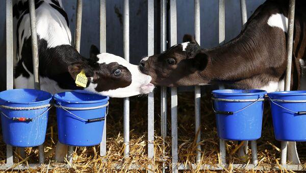 Telata na farmě ve Velké Británii. Ilustrační foto - Sputnik Česká republika