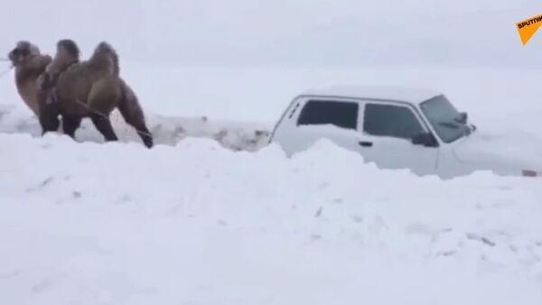 V Rusku velbloud ze závěje vytahuje Nivu - Sputnik Česká republika