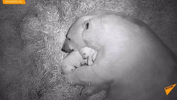 Koukněte se na zatím bezpečná roztomilá mláďata ledního medvěda v sibiřské - Sputnik Česká republika