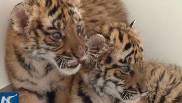 Koukněte se, jak zaměstnanci zoo v  Číně pečují o roztomilá mláďata tygrů - Sputnik Česká republika
