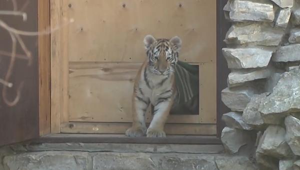 Slepého tygříka připravují na operaci. Vymění mu čočky (VIDEO) - Sputnik Česká republika
